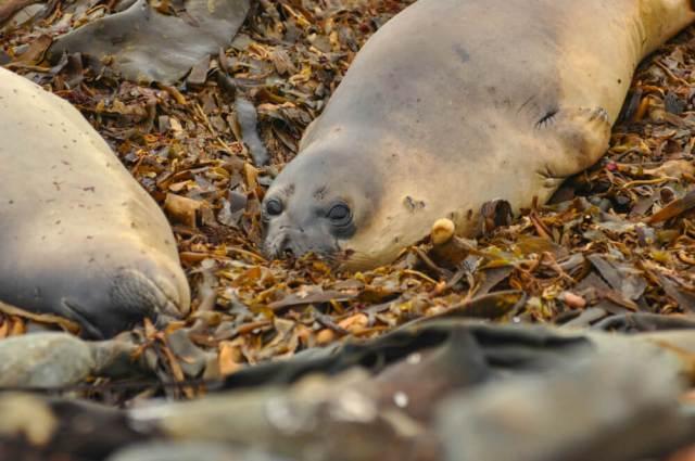 Sea Lions Falkland Islands