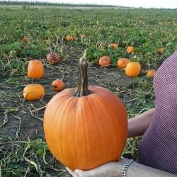 pumpkin-patch-musings-stowandtellu