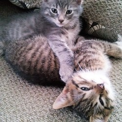 tabby gray kitten and tabby brown kitten ttens | stowandtellu