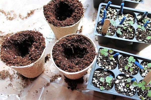 transplanting-seedlings-peat-pots