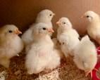 newly hatched Stowe Farm leghorn chicks