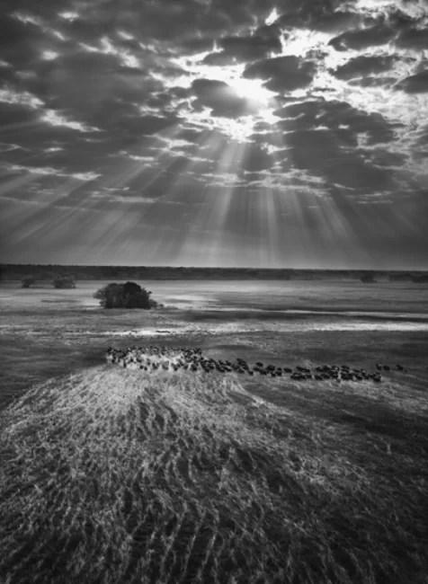 Sebastião Salgado, Herd of buffalos. Kafue National Park, Zambia, 2010, Gelatin silver print, 180 x 125 cm/50 x 68 inches © Sebastião Salgado/Amazonas Images
