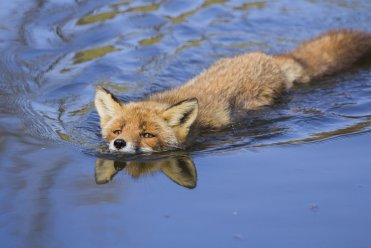 swimming_fox