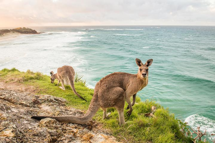 kangaroos on the headland | stradbroke island |