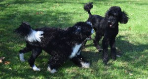 Dogs playing at Stradbrook Kennels in Long Valley NJ