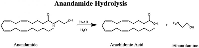 FAAH Anandamide Hydrolysis diagram