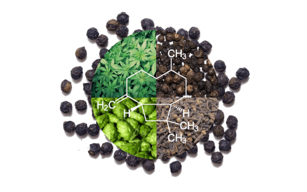 The Beta-Caryophyllene Terpene: Strains, Effects, and Benefits