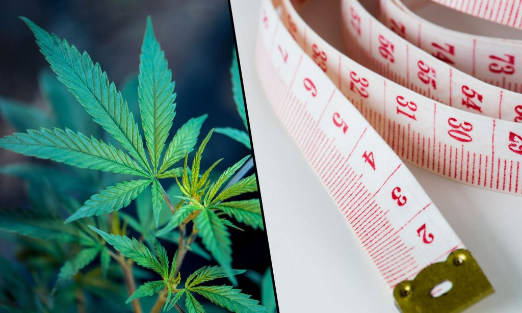 cannabis for obesity with a plant a waist line ruler