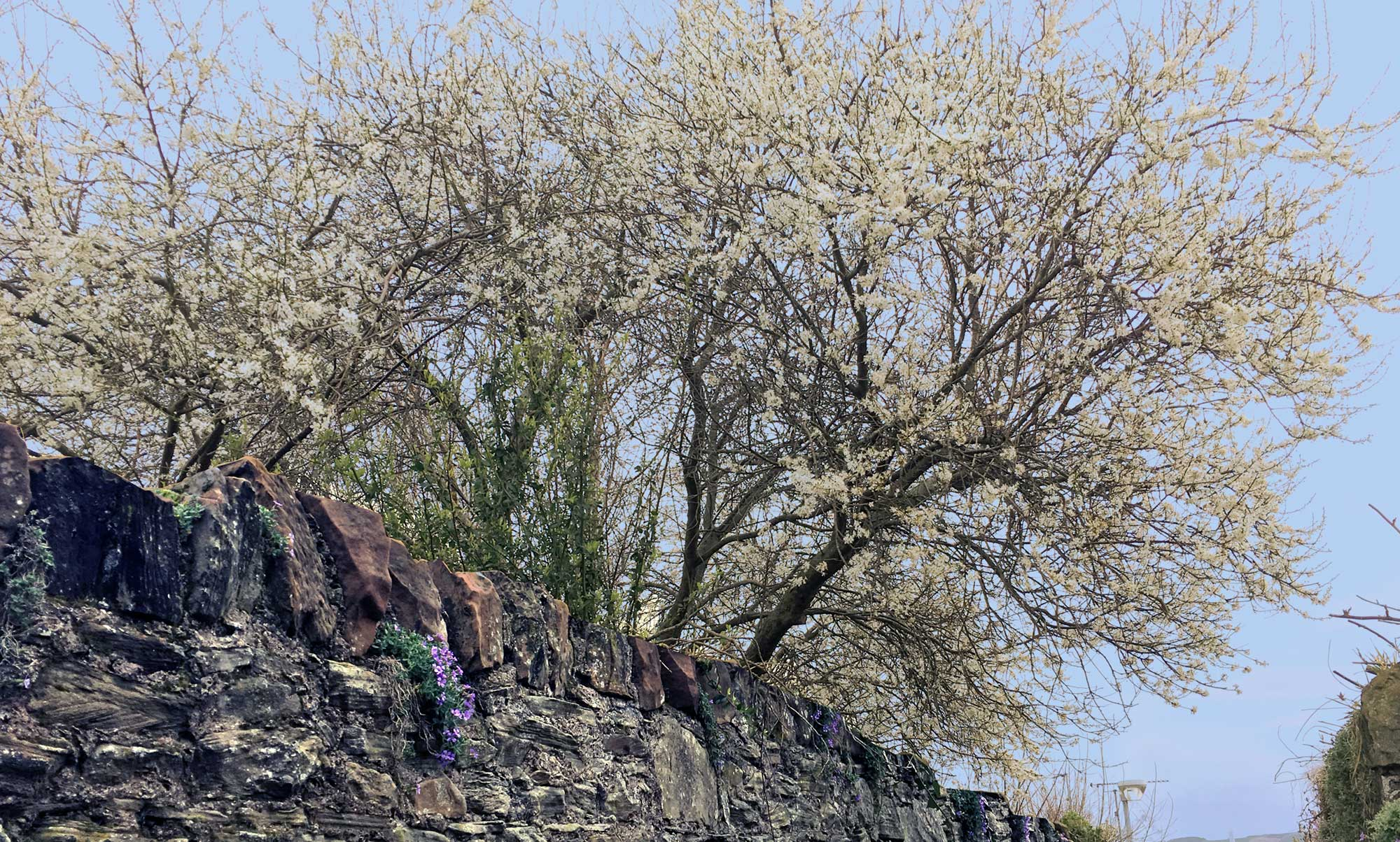 März Blüten in Coldstream Schottland