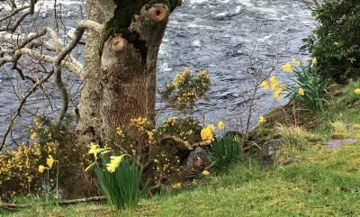 Narzissen am River Ewe
