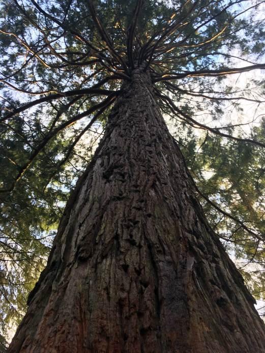 Laird Woods Mammutbaum
