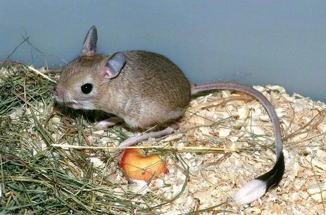 Тушканчик: описание, виды, содержание в домашних условиях