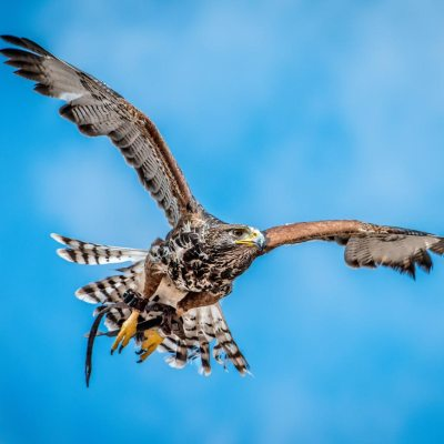 A proud hawk – The beauty of a flying hawk