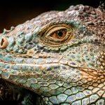 Der Drachenkopf des Iguana iguana rhinolopha