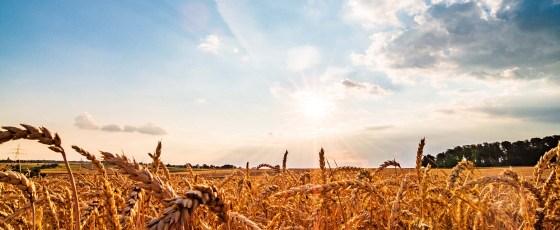 Getreidefeld im Sonnenschein