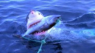 discoverysharks-0019-feeding-sharks-large-thumb