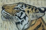 Tigre du Bengale détail