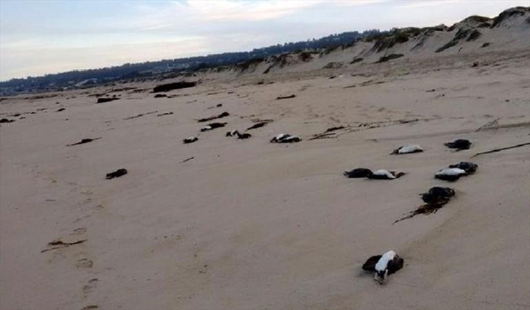 animal die-off chile, cormorants mass die-off chile, 50 cormorants dead chile may 2016, animal die-off chile cormorants prawns may 2016, shrimps die-off arica chile, masiva varazón de langostinos en Arica, chile prawns die-off may 9 2016, red beach chile mass die-oof, millions schrimps die arica beach chile may 9 2016, Varazón de langostinos arica, schrimps die-off arica may 9 2016 video
