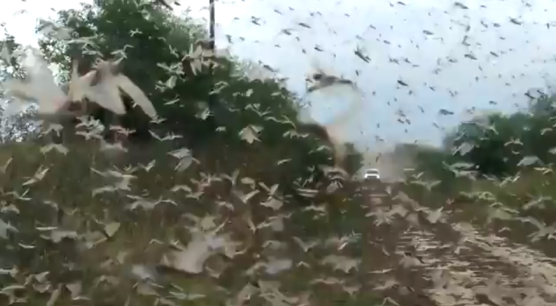argentina locust plague, argentina langostas, paraguay langostasA biblical locust plague is currently hitting Argentina after Paraguay in South America in June 2020