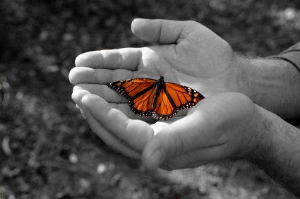 hands holding Monarch butterfly