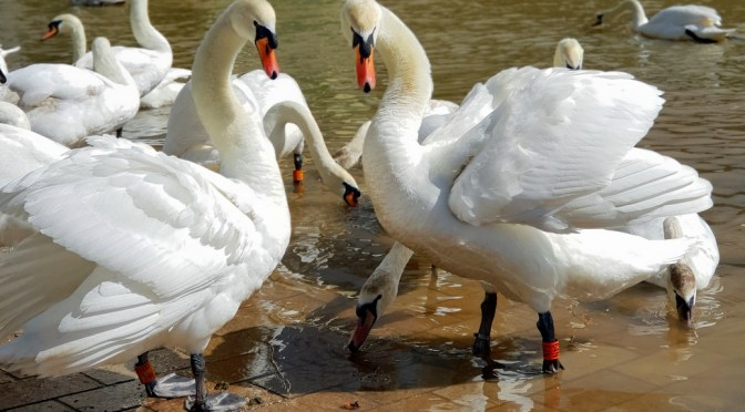 5 ways to protect the swans in Stratford-upon-Avon ©Stratfordblog.com