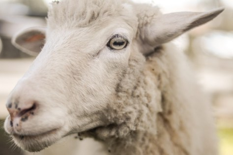 sheep to illustrate May events in Stratford-upon-Avon