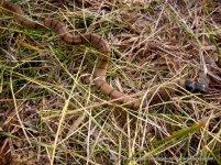 Juvenile Eastern Brown Snake.