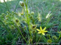 Pale Sundew and Yellow Star (Hypoxis ?vaginata)