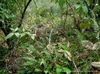 Sickle Fern and Necklace Fern-covered boulder, beneath Musk Daisy-bush (Olearia argophylla).