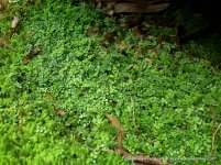A solid mat of NecklaceFern (Asplenium flabellifolium) in the shade of a rock.
