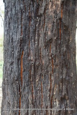 Many trees showed the signs of considerable stress - cracking, shrinking bark, exposing the sapwood to drying and pathogen attack.