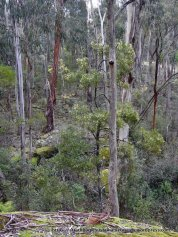 Even some of the Blackwood Wattles along the stream were in bloom.