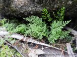 Maiderhair and Necklace Ferns in this crevice.