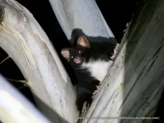 This Greater Glider was only about 25 m up.