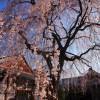 京都の桜 穴場のおすすめ撮影スポット|上京区編⑤|本満寺・相国寺・有栖館