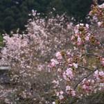 京都の桜 おすすめの穴場撮影スポット|左京区編⑧|三千院・寂光院・実光院