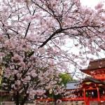 京都の桜 おすすめの穴場撮影スポット|八幡市編|石清水八幡宮・正法寺・背割堤