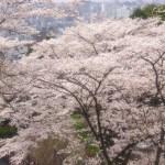京都の桜 おすすめの穴場撮影スポット 東山区編⑤ 建仁寺・護国神社・安井金比羅宮