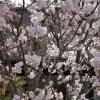 京都の桜 おすすめの穴場撮影スポット|東山区編④|地主神社・妙見堂・安祥院