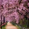 京都 桜の名所|左京区編②|平安神宮・哲学の道・半木の道