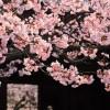 京都の桜 おすすめの穴場撮影スポット|下京区編|佛光寺・渉成園・梅小路公園