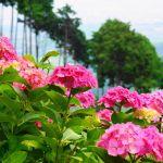京都のあじさいの名所でおすすめは?有名スポットの見頃や見どころ情報!