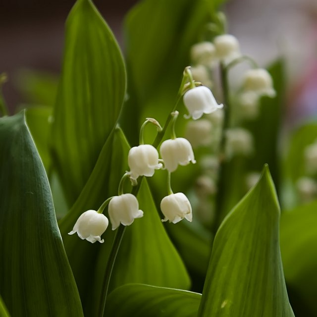 Birth Month Flowers - May - Lily of the Valley