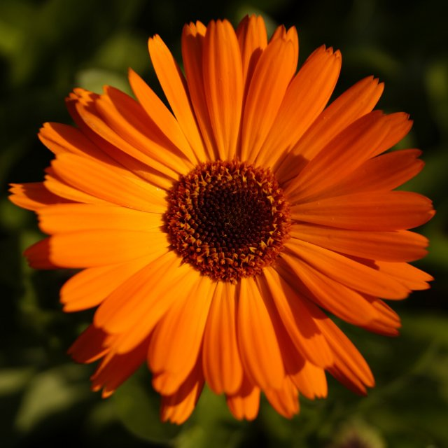Birth Month Flowers - October - Marigold