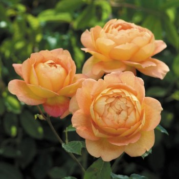 David Austin Shrub Rose Lady of Shalott  available from Strawberry Garden Centre, Uttoxeter
