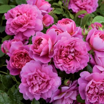 David Austin Shrub Rose Princess Anne available from Strawberry Garden Centre, Uttoxeter