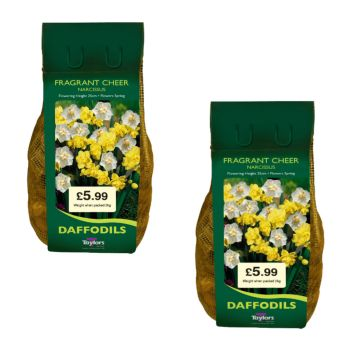 Taylors Bulbs DC71 Fragranr Cheer Daffodils 2 x 2kg available from Strawberry Garden Centre, Uttoxeter