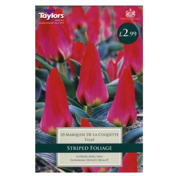 Taylors Bulbs TP547 Tulip Marquise de la Coque available from Strawberry Garden Centre, Uttoxeter