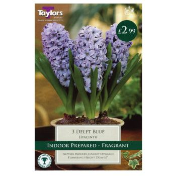 Taylors Bulbs TP604 Hyacinth Delft Blue Prepared available from Strawberry Garden Centre, Uttoxeter