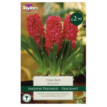 Taylors Bulbs TP606 Hyacinth Jan Bos prepared available from Strawberry Garden Centre, Uttoxeter